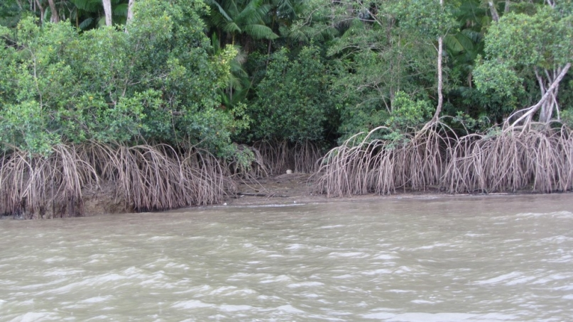 Amazon Mangrove near Belem