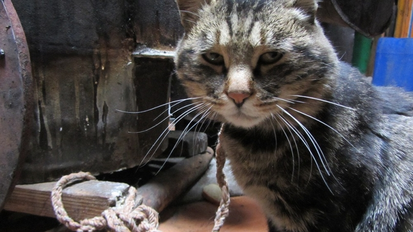Mongolian cat in Ger
