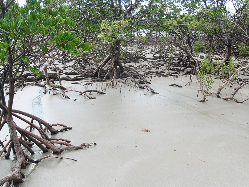 Cape Tribulation beach mangroves