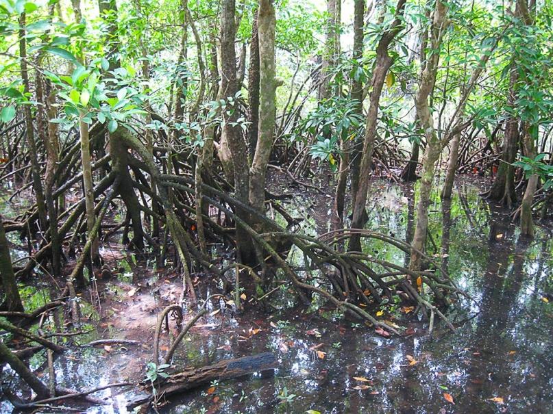 Daintree Rainforest mangroves