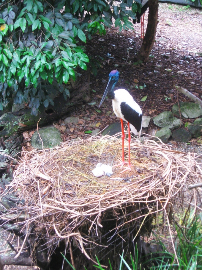 Daintree Rainforest stork