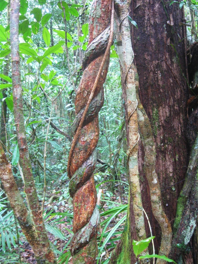 Daintree Rainforest twisted tree