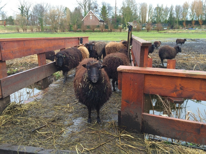 Buurtboerderij Ons Genoegen sheep