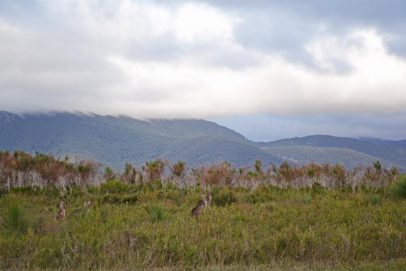 Kangaroos wilsons promontory national park