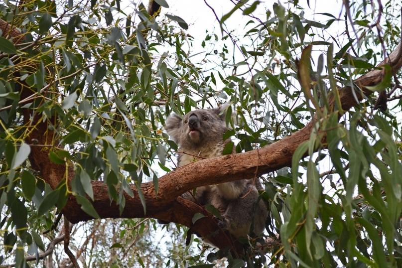 koala wilsons promontory national park