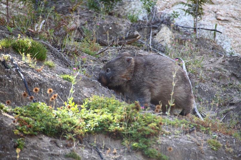 Wombat Wilsons Promontory